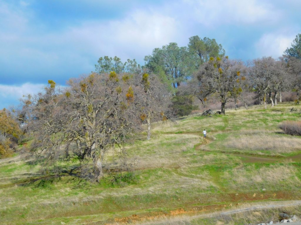 this image shows folsom tree